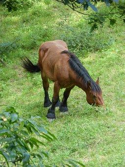 Horse, Prado, Pacer, Pasture, Grass, Through Browsing