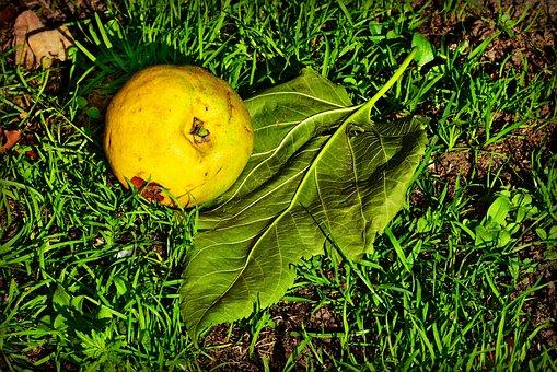 Apple, Fruit, Ripe, Fallen, Orchard, Grass, Leaf, Vein