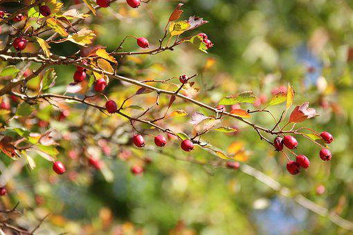 Nature, Autumn, Light, Leaves, Rose Hip