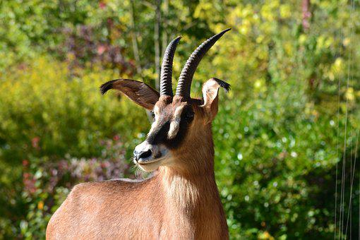 Africa, Antelope, Zoo, Safari, Animal World, Horns