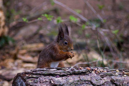 Red Squirrel, Tentsmuir, Scotland, Uk, Nature