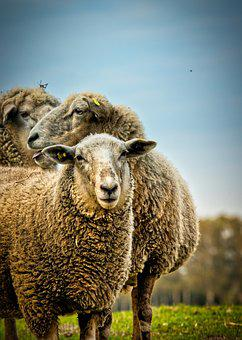 Sheep, Meadow, Agriculture, Animals, Cute, Nature