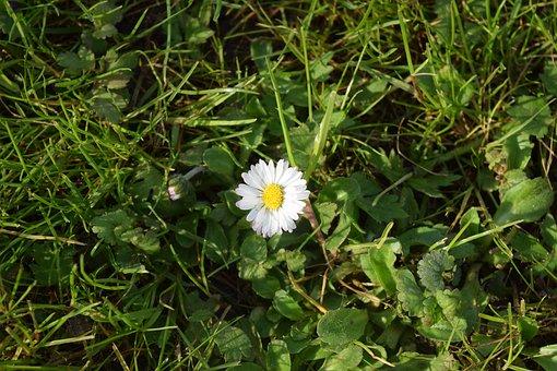 Daisy, Rush, Grass, Flower, Summer, Meadow