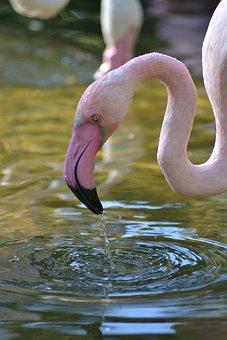 Flamingo, Africa, Water, Pink, Bird, Animal World, Bill