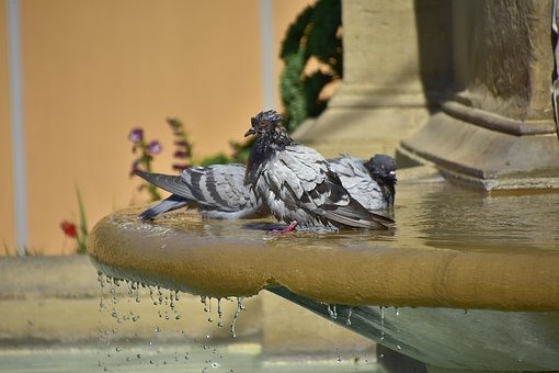 Pigeons, Water, Nature, Ave, Source, Plumage, Sun