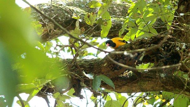 Bird, Avian, Oriole, Yellow, Leaf, Perched, Wildlife