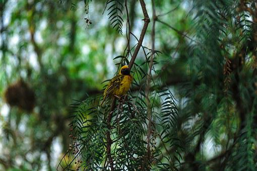 Africa, Safari, Bird, Wildlife, Southern Masked Weaver