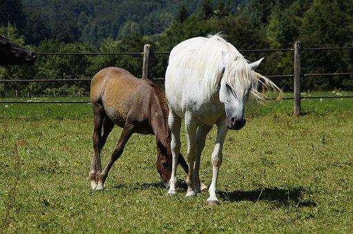 Mares, Foal, Arabs, Breeding, Mold, Horse Breed