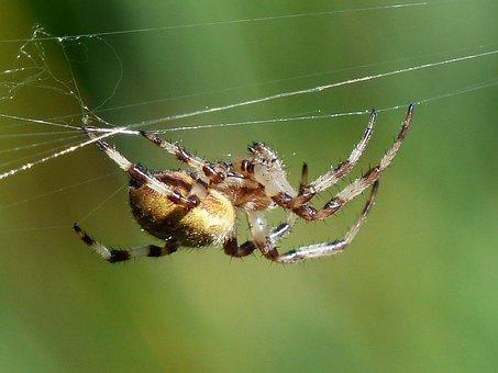 Spider, Araneus, Arachnid, Bottom, Cobweb