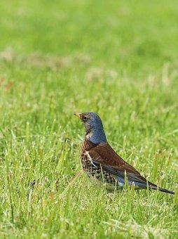 Fieldfare, Bird, Municipal, Park, Grass, Spring