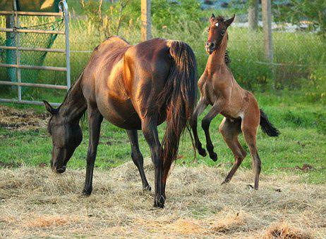 Horse, Foal, Thoroughbred Arabian, Mold, Brown Mold