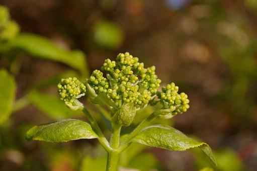 Spring, Garden, Plant, Nature, Climbing, Hydrangea, Bud
