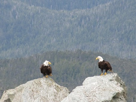 Bald, Eagles, Pair, Birds, Two, Couple, Stares, Staring