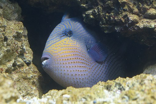 Fish, Triggerfish, Hidden, Crevice, Reef, Coral Reef