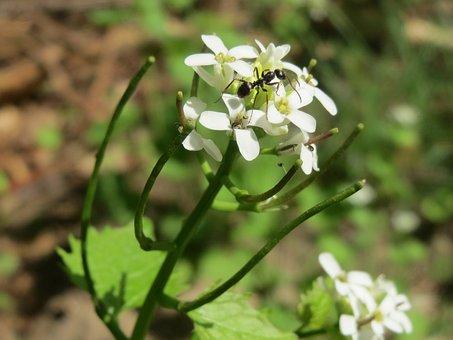 Alliaria Petiolata, Jack-by-the-hedge, Garlic Mustard