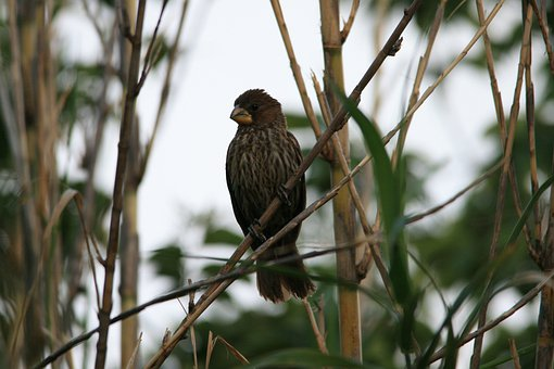 Thick-billed Weaver, Bird, Grosbeak Weaver