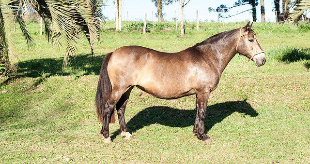 Creole Horse, Mare, Horse