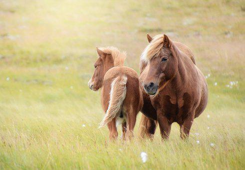 Iceland Horse, Horse, Foal, Mare, Iceland