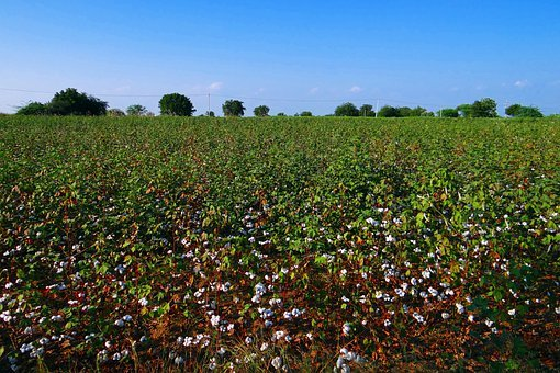 Cotton, Cultivation, Karnataka, Plants, India