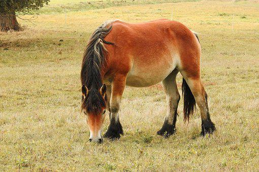 Horse, Kaltblut, Mare, Young Horse, Pasture, Paddock