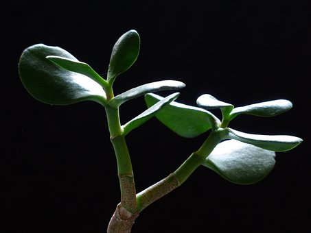 Money Tree, Leaves, Meaty, Green, Crassula Ovata