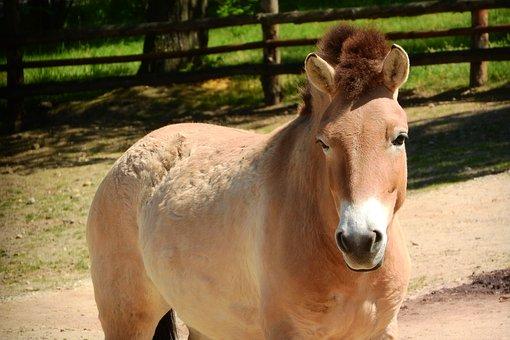 Przewalski's Horse, Mare, Equus Przewalskii