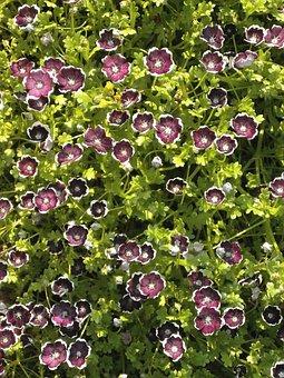 Nemophila, Penny Black, Spring Flowers, Black Flowers