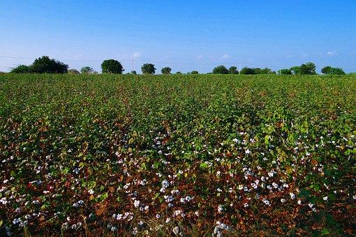 Cotton, Cultivation, Karnataka, Plants, India
