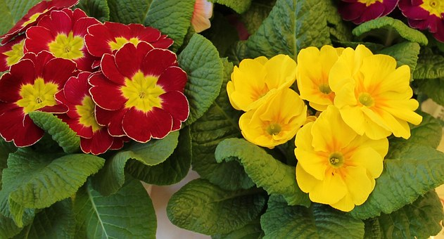 Primrose Pots, Signs Of Spring, Early Bloomer