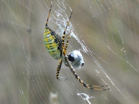 Arachnid, Spider, Animal, Nature, Wildlife, Web, Insect