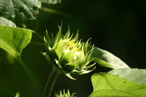 Sun Flower, New Flower, Sunflower Bloom, Spring