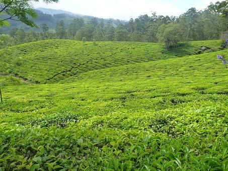 Plantation, Tea, Garden, Green, Greenery, Tree, Hilly