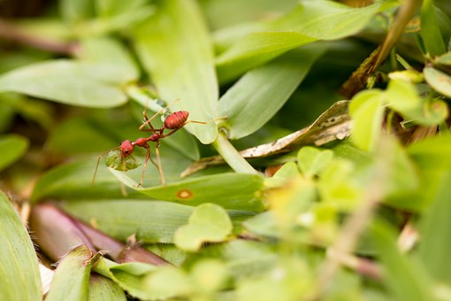Ant, Weaver Ant, Weaver, Pest, Nature, Tropical