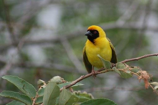 Yellow Weaver, Branch, Nature, Wildlife, Africa, Yellow