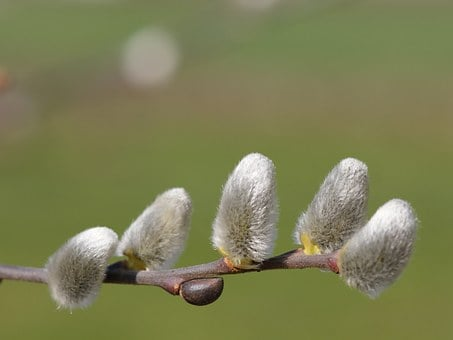 Spring, Hairy, Willow Catkins, Beautiful, Velvety