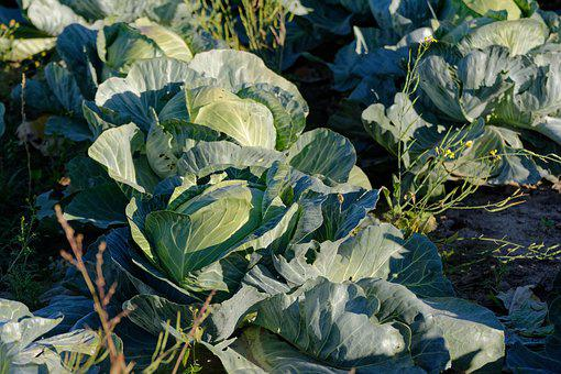 Cabbage, Green, Food, Foliage, Agriculture, Fresh, Raw