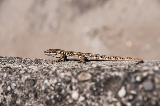 Lizard, Animal, Reptile, Gecko, Nature, Animal World