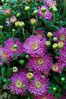 Autumn, Fall Flowers, Chrysanthemum, Pink Chrysanthemum