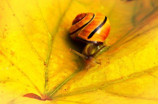 Wstężyk Huntsman, Molluscs, Snail, Leaf, Autumn