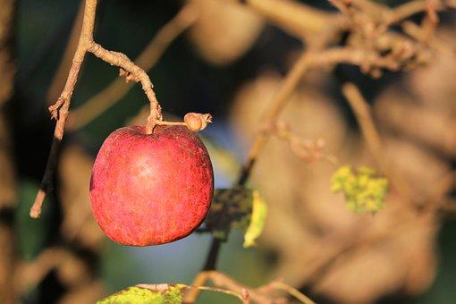 Red Apple, Tree, Sunset, Autumn, Delicious, Organic