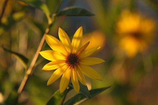 Sunflower, Flower, Yellow, Nature, Plant, Autumn