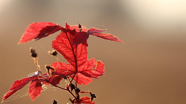 Red Leaves, Autumn, Sunset, Evening, Backlight, Nature