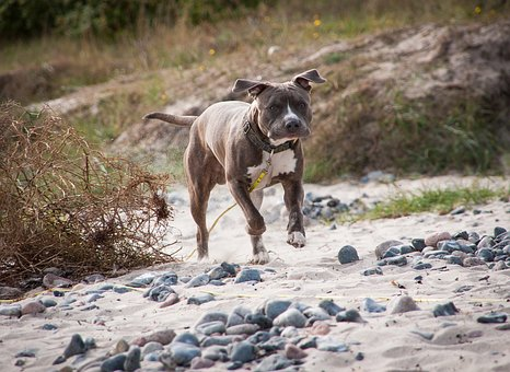 Amstaff, Dog, Beach, Pitbull, Summer, Animal, Water
