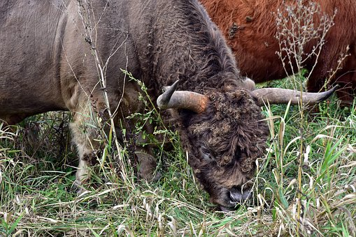 Galloway, Bull, Beef, Horns, Shaggy, Graze, Meadow