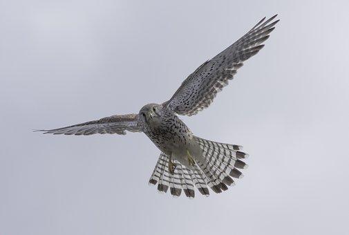 Bird, Falcon, Bird Of Prey