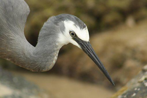 White Faced Heron, Bird, Australia, Beach, Rocky Shore