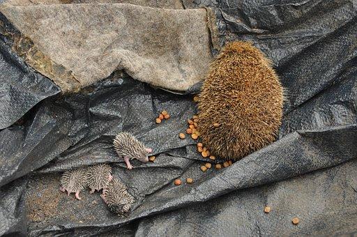Baby Hedgehogs, Birth, Scope