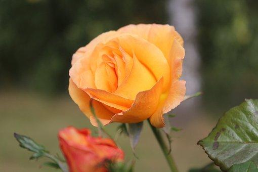 Rose, Yellow, Blossom, Bloom, Romantic, Floribunda