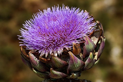 Artichoke, Bloom, Blossom, Bloom, Bright, Purple