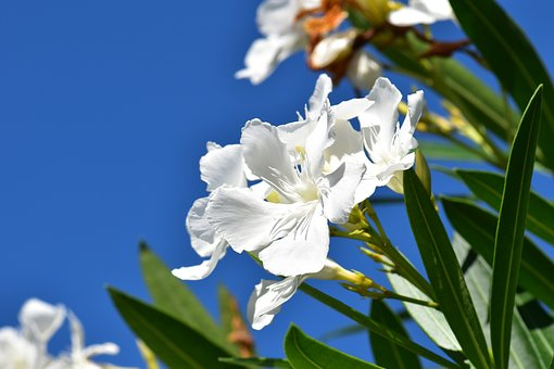 Oleander, White, Plant, Flower, Bloom, Blossom, Bloom